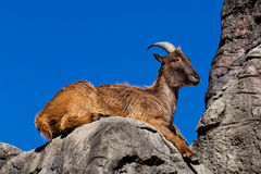Himalayan Tahr sitting on a cliff Royalty Free Stock Image