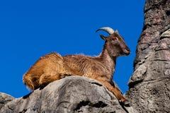 Himalayan Tahr sitting on a cliff. A Himalayan Tahr sitting on a cliff Royalty Free Stock Image