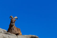 Himalayan Tahr sitting on a cliff. A Himalayan Tahr sitting on a cliff Royalty Free Stock Photography