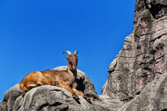 Himalayan Tahr sitting on a cliff Royalty Free Stock Photo