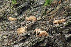 Himalayan tahrs. The group of himalayan tahrs lying on the rock Stock Image