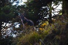 Himalayan Thar goat Stock Image