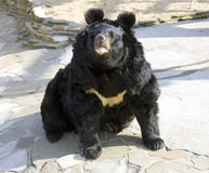 Himalayan Ussuri black bear. Mammal carnivore omnivore black Stock Photography