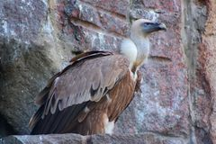 Himalayan vulture Royalty Free Stock Photos