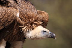 Himalayan vulture. The detail of flying Himalayan vulture Stock Image