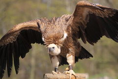 Himalayan Vulture Royalty Free Stock Images