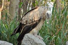 Himalayan Vulture Royalty Free Stock Photos