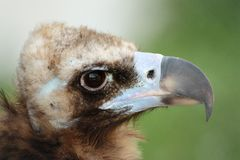 Himalayan vulture close up Stock Photos