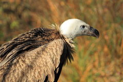 Himalayan vulture Stock Photo