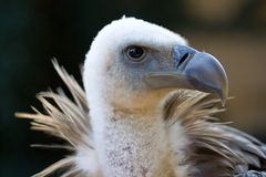 Himalayan Vulture Royalty Free Stock Photography