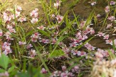 himalayan wild för Cherry Royaltyfria Bilder