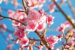 himalayan wild för Cherry Royaltyfria Foton
