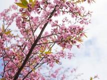 himalayan wild för Cherry Arkivbild