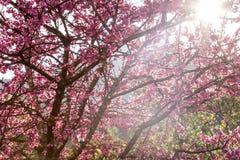 himalayan wild för Cherry Royaltyfri Bild