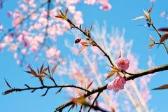 himalayan wild för Cherry Royaltyfri Fotografi