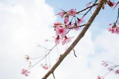 himalayan wild för Cherry Arkivbilder