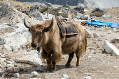 Himalayan Yak Royalty Free Stock Photography