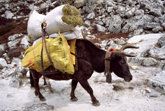 Himalayan Yak. A load carrying yak on it's way towards Gorak Shep which lies close to the base camp of Everest Royalty Free Stock Images