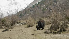 The Himalayan yak eats grass among the mountains of Nepal. Manaslu circuit trek.