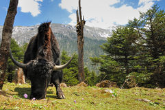 Himalayan Yak grazing Stock Image