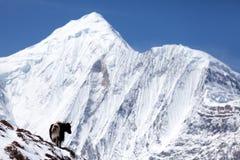Himalayan yak med snöberget (Annapurna II) i bakgrund, Annapurna strömkrets, Manang, Nepal royaltyfria foton