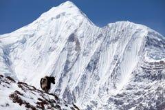 Himalayan yak med snöberget i bakgrund, Annapurna strömkrets, Manang, Nepal Royaltyfria Bilder