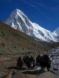 Himalayan Yaks stock afbeeldingen