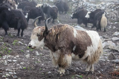 Himalayan yaks in herd Stock Photography