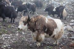 Himalayan yaks in herd. Nepal stock photography