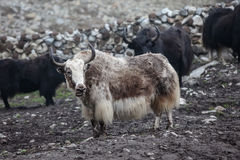 Himalayan yaks in herd. Nepal royalty free stock photography
