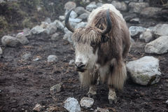 Himalayan yaks in herd Royalty Free Stock Images