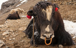 Himalayan yaks. Royalty Free Stock Photography