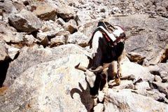 Himalayanjakken in Khumbu Himal, Nepal Royalty-vrije Stock Fotografie