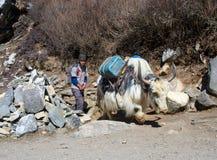 Himalayanveehoeder en Jakken in Nepal Royalty-vrije Stock Foto