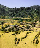 Himalayas. The rice fields are in the foot-hill of Himalayas, Nepal royalty free stock images