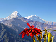 Himalayas. Flaming red flower and Annapurna peaks in the background. Himalaya, Nepal Royalty Free Stock Image