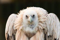 Himalayensis Gyps, γύπας στοκ φωτογραφίες με δικαίωμα ελεύθερης χρήσης