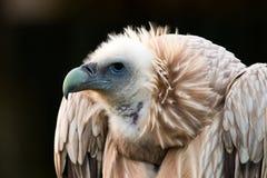 Himalayensis Gyps, γύπας στοκ φωτογραφία
