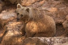 himalian bear Royalty Free Stock Photo