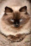 Himalian-Katze Lizenzfreie Stockfotos