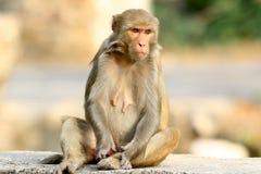 Himalyan monkey Stock Image