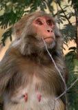 Himalyan monkey Royalty Free Stock Photos