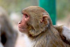 Himalyan monkey Royalty Free Stock Photo