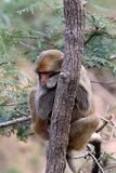 Himalyan monkey Stock Images