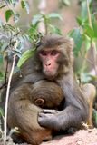Himalyan monkeys Stock Photography