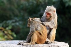 Himalyan monkeys Stock Photo