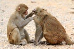 Himalyan monkeys Royalty Free Stock Image