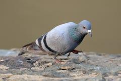 Himalyan pigeon stock photos