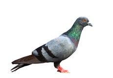 Himalyan pigeon Stock Images