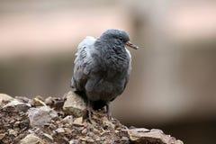 Himalyan rock pigeon royalty free stock images